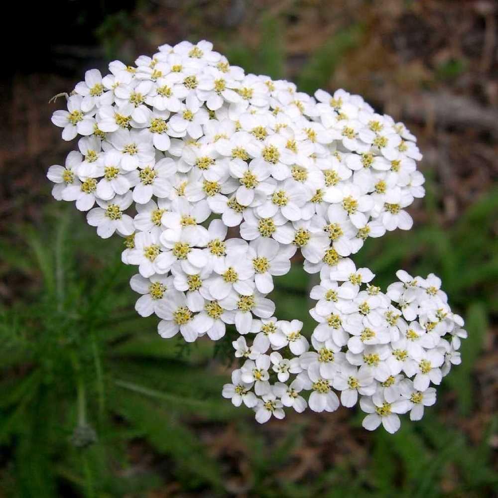 5000 White Yarrow Seeds Achillea Millefolium Achillea Yarrow Flower Achillea Millefolium