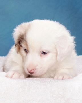 Litter Of 8 Australian Shepherd Puppies For Sale In Bicknell Ut Adn 35721 On Puppyfinder Com Australian Shepherd Puppies Puppies For Sale