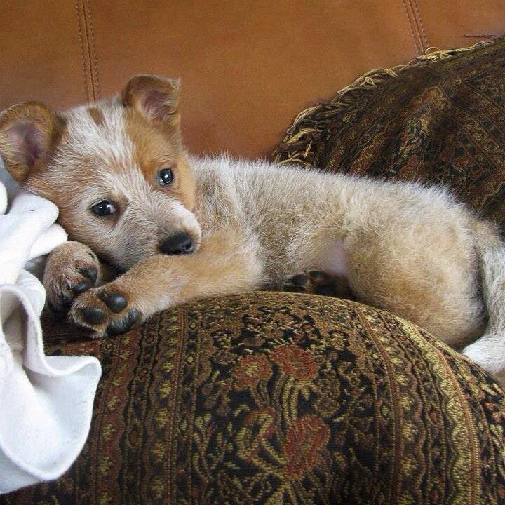 Sweet Little Red Heeler Austrailian Cattle Dog Heeler Puppies