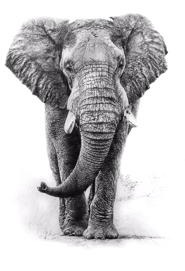 'The Great Encounter' available www.tommiddletonart.com ... Realistic Elephant Drawing