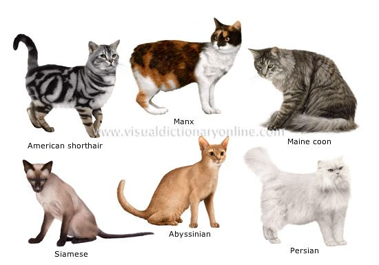 Some Top Unusual Cat Breeds On Earth Grey Cat Breeds Cat Breeds