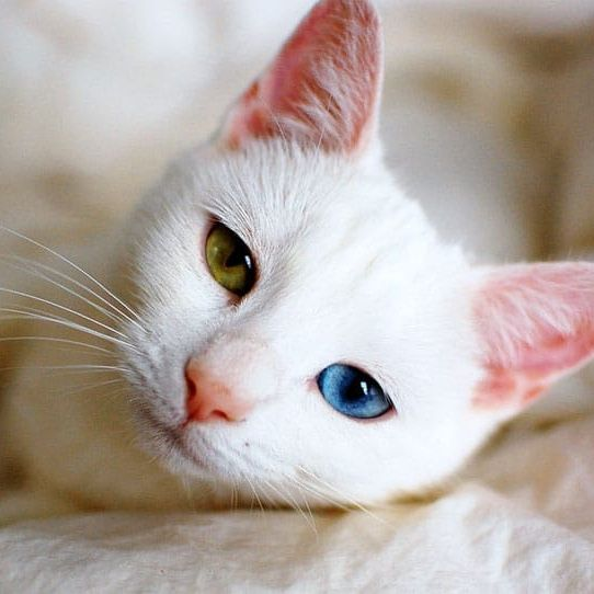 Khao Manee This Ancient Pure Bred Cat Breed Was Once Considered A Royal Cat In Thailand The Name Khao Manee Cat Breeds Kitten Breeds Different Types Of Cats