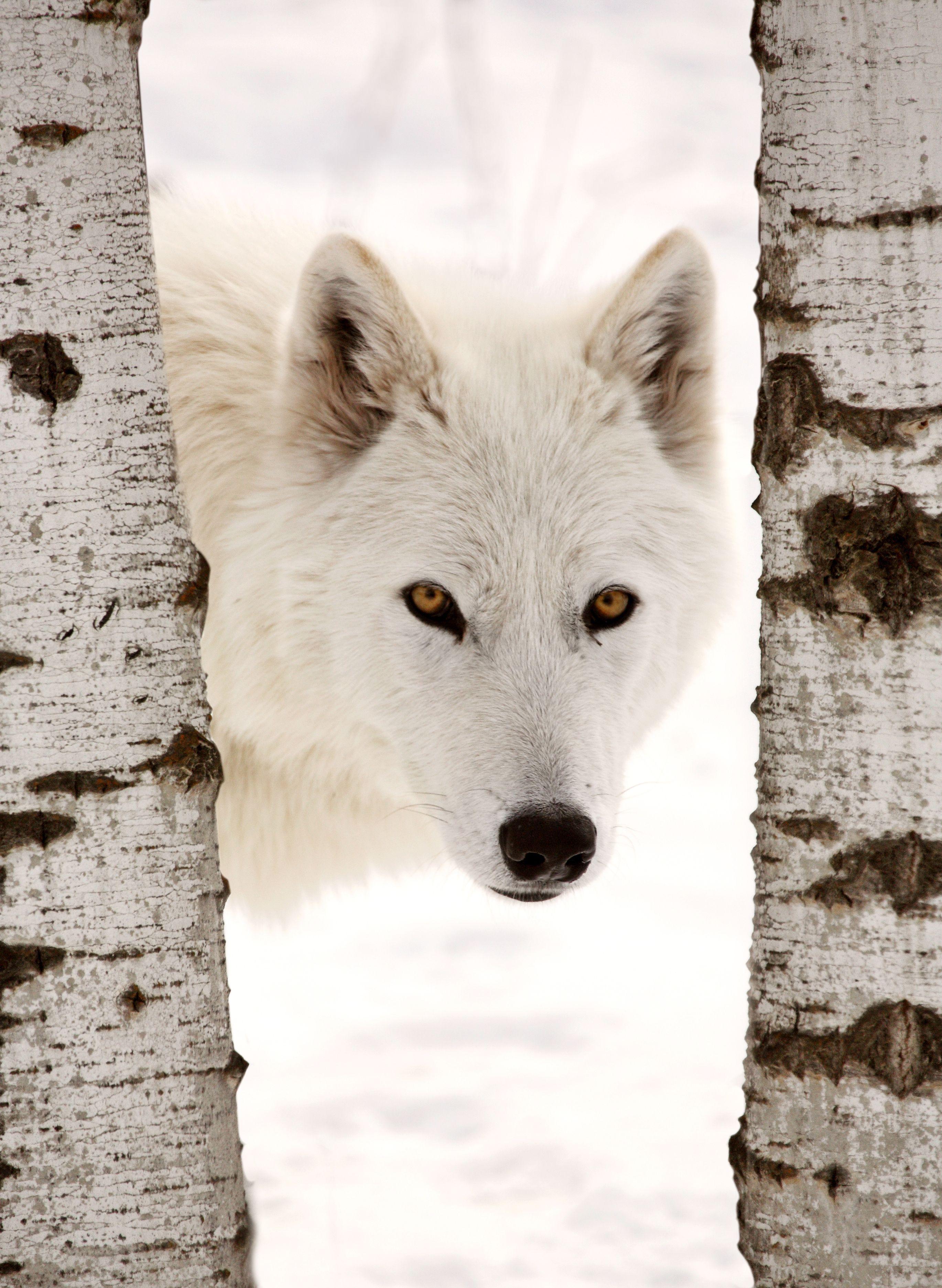 White Wolf   Midwinter   Pinterest