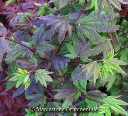 Acer Circinatum Burgundy Jewel Japanese Maples Circinatum