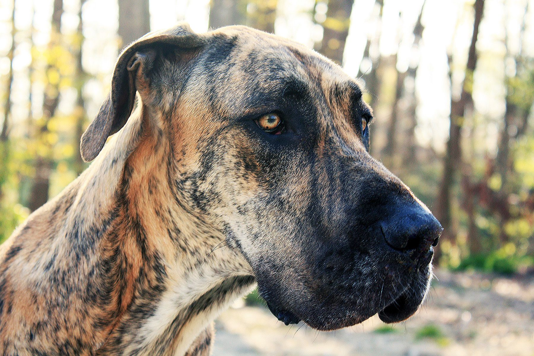 Kendall The Brindle Great Dane Brindle Great Dane Dogs Of The