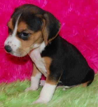 Mini Beagle Puppies For Sale New Litter Available Puppies