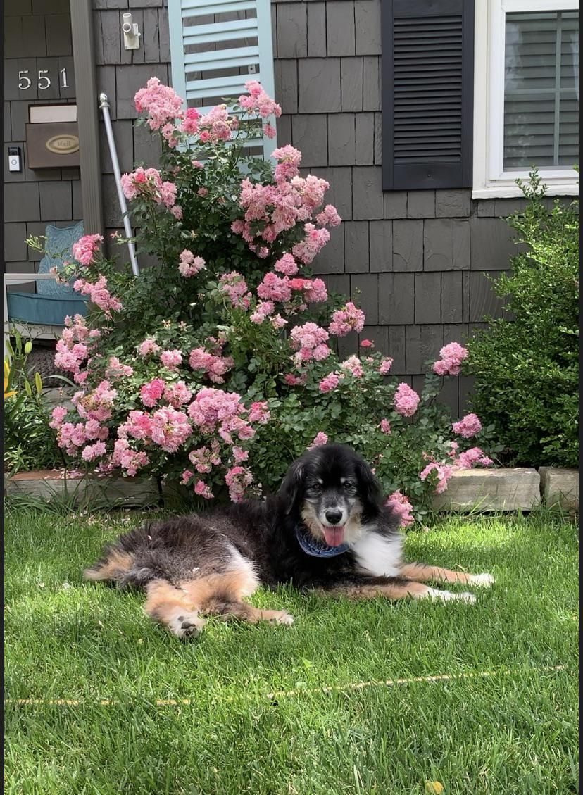 Roses And The Best Dog Ever Gardening Garden Diy Home Flowers Roses Nature Landscaping Horticulture Dogs Best Dogs Rose