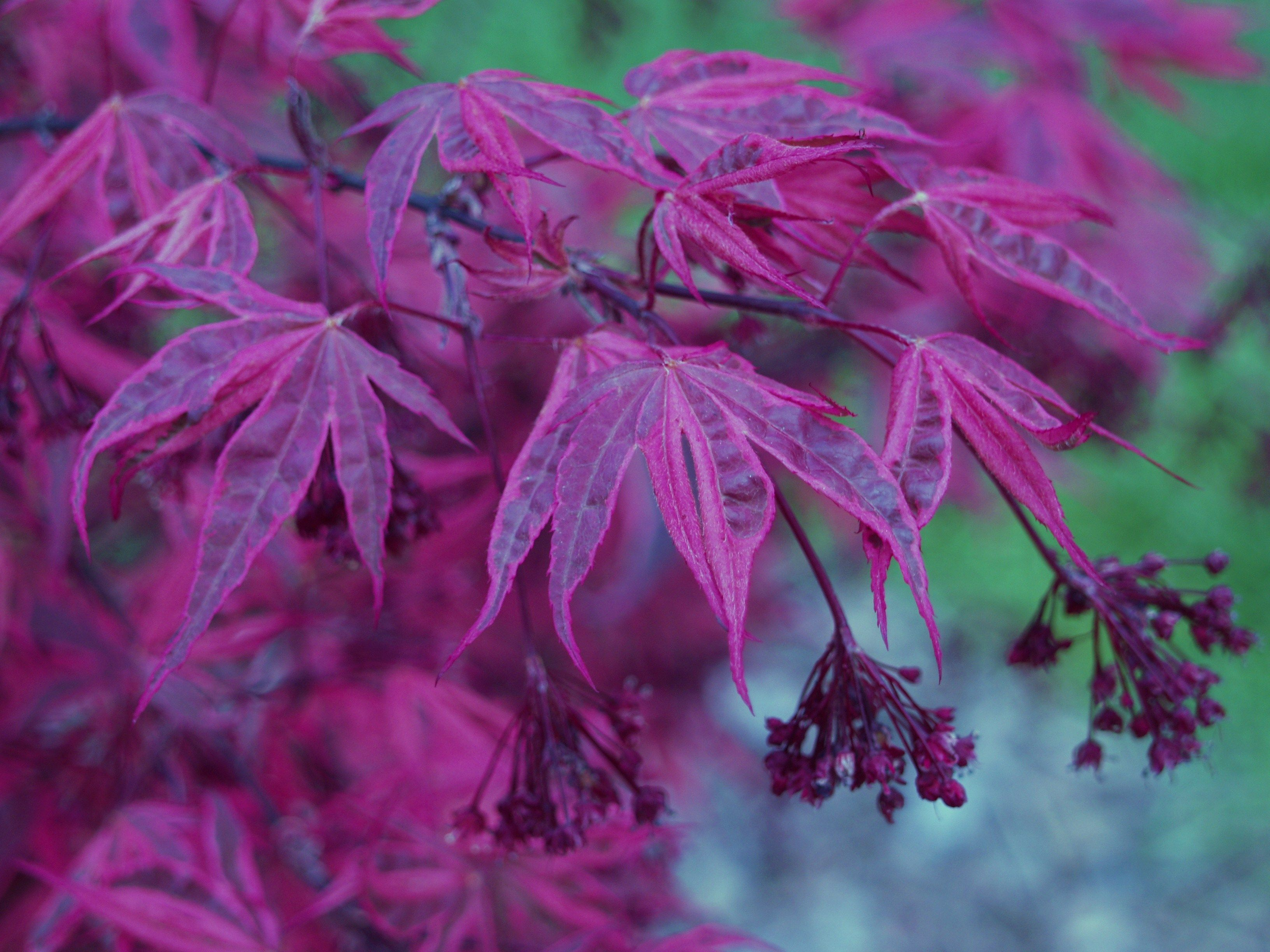 How to care for a fern leaf japanese maple - Acer Palmatum The Japanese Maple Acer Palmatum Includes An Incredibly Diverse And Beautiful Variety Of