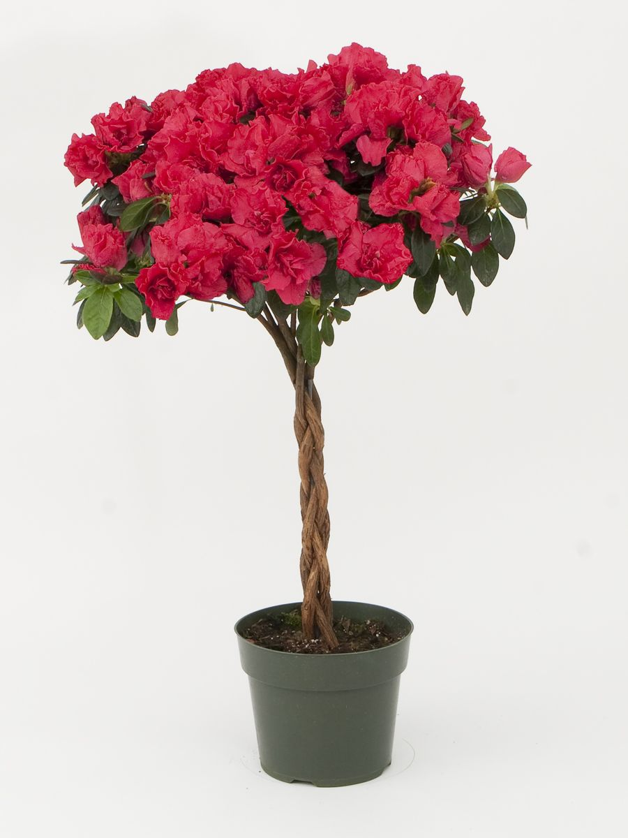 tree miniature 6 inch pot azaleas pinterest inside