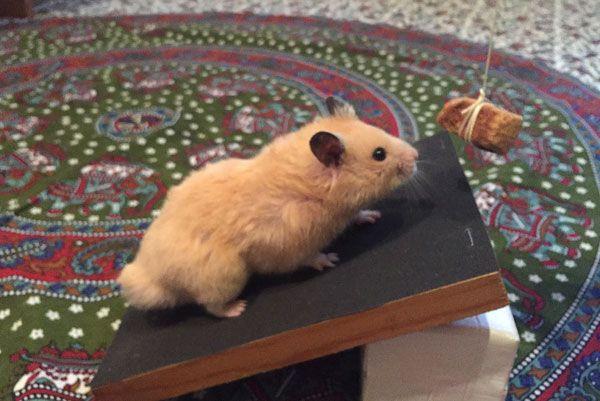 Hamster Nail Trimming Tip Hamster Cute Hamsters Hamster Care