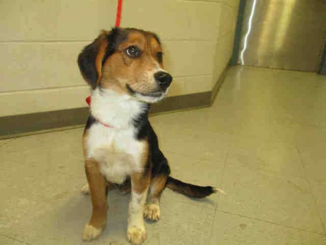Beagle dog for Adoption in Augusta, GA. ADN-710030 on PuppyFinder.com Gender: Male. Age: Adult