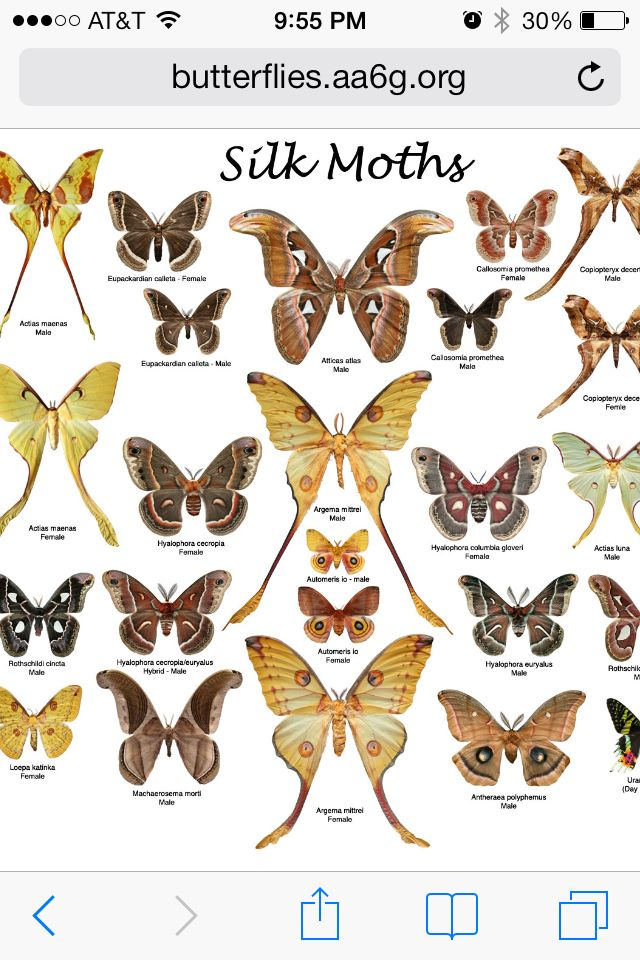 Silk Moth Tattoos Moth Tattoo Large Moth Atlas Moth