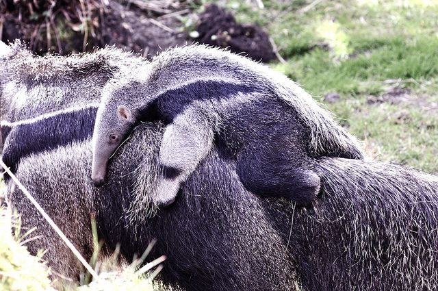 when i went to the zoo, i saw the baby anteater sleeping on its mom, and that made my day.