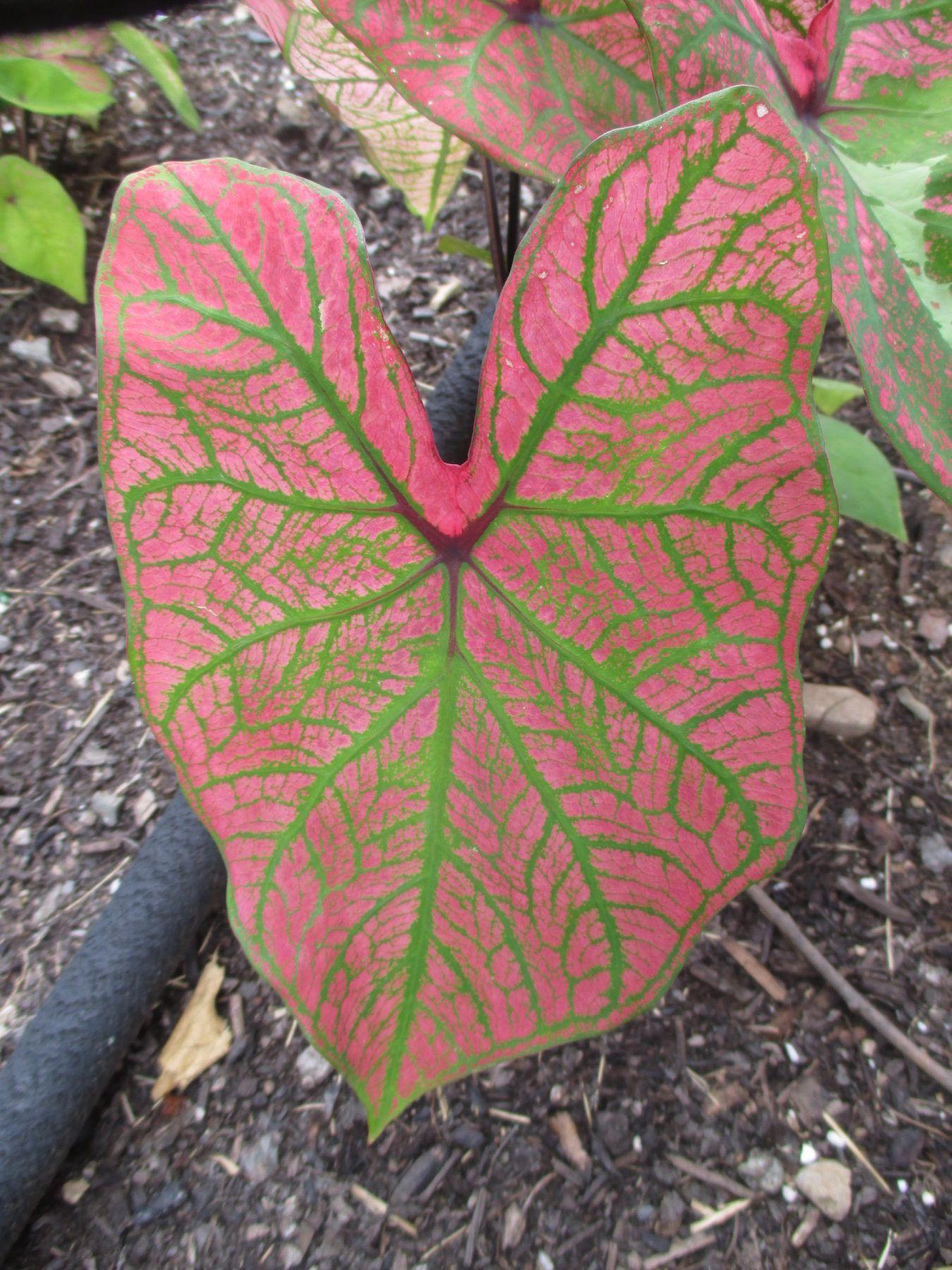 Spring Fling Caladium Bulbs Elephant Ear Perennial Leaf Flower Tropical Bonsai