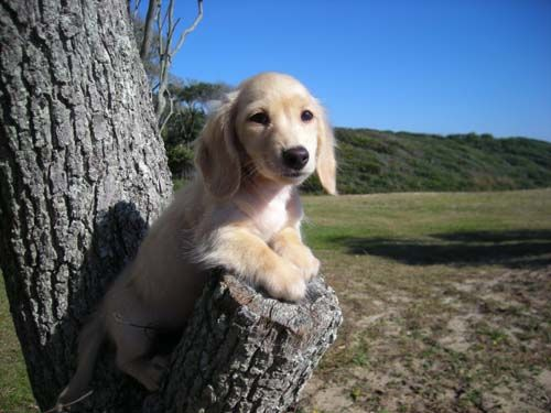 Cute Dachshund Pictures And Photo Gallery Dachshund Pictures Cream Dachshund Dachshund Puppies