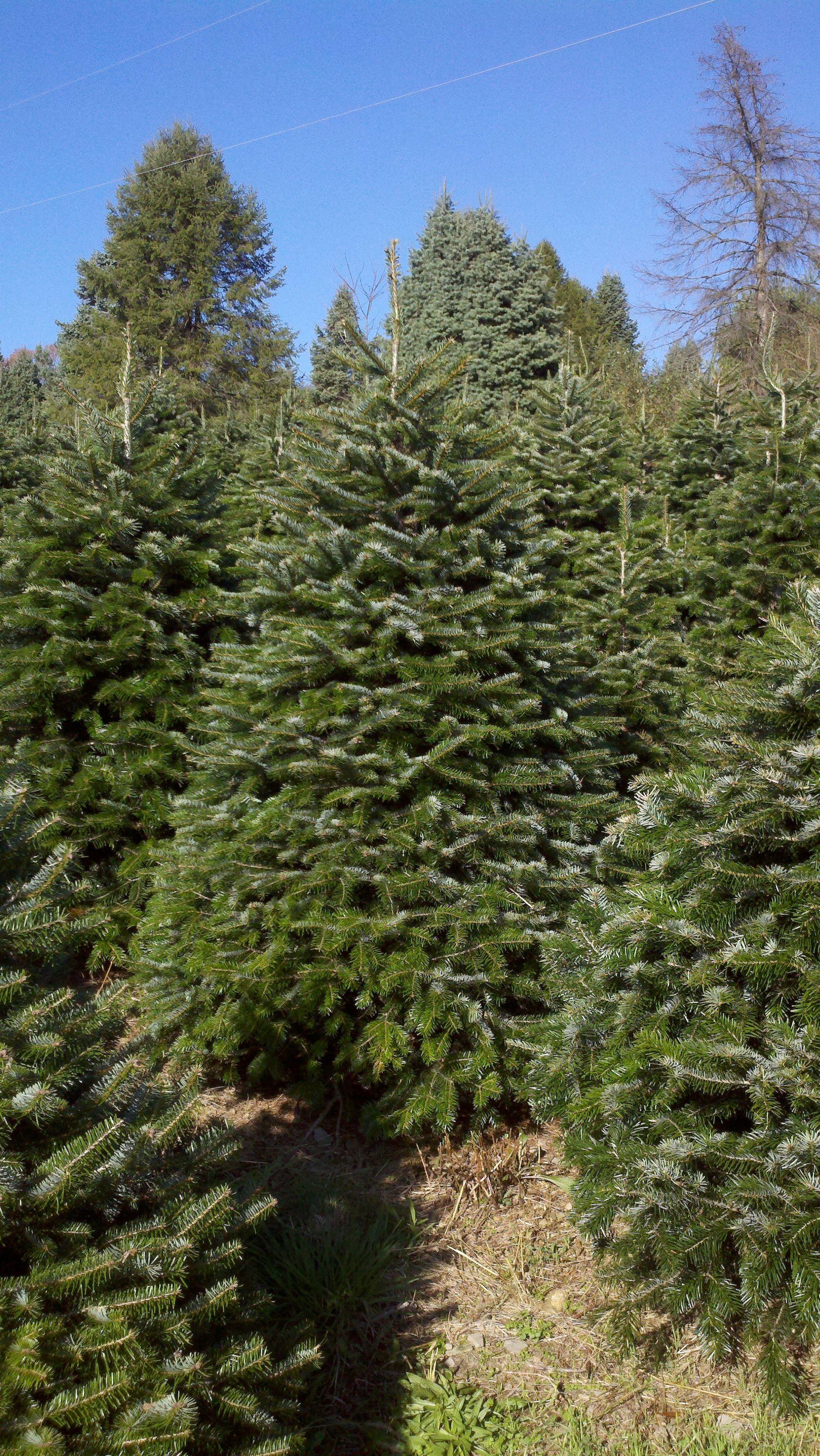 Nordmann Fir Www.hillfarms.com | Hill Farms Christmas Trees ...