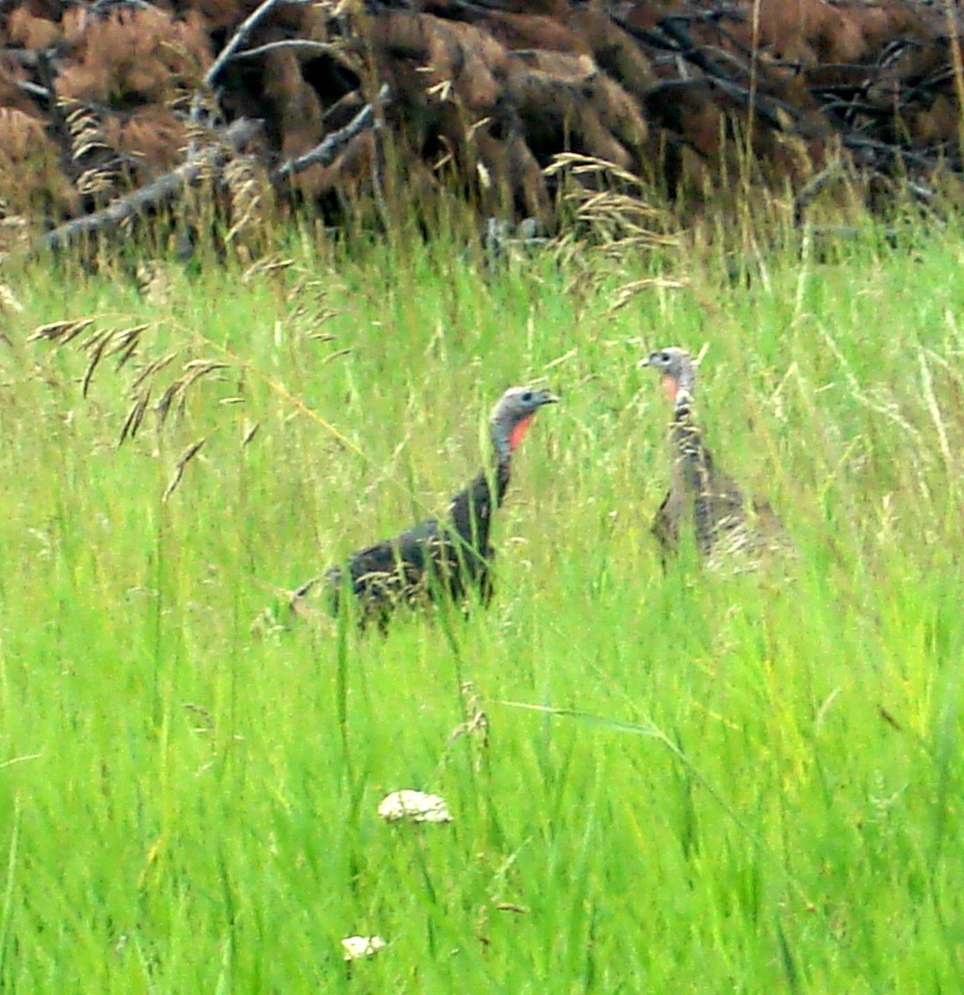Black Hills Wild Turkeys