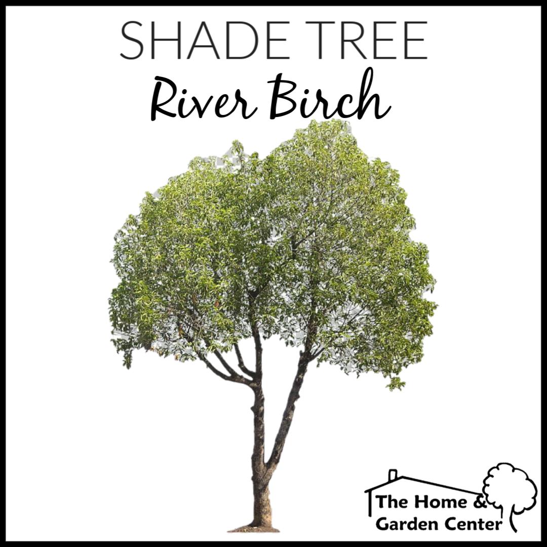 River Birch Shade Trees Garden Center River Birch