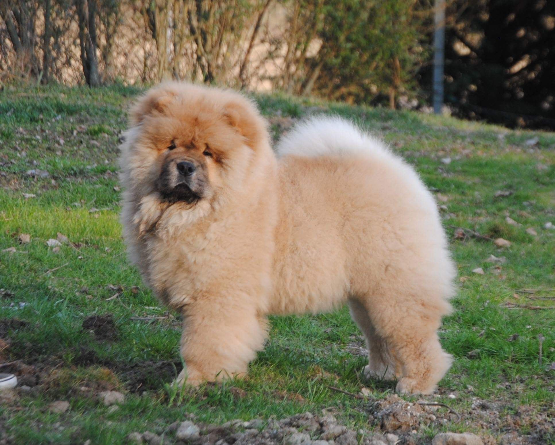 Highland S Lily Chow Chow Puppy 6 Months Old