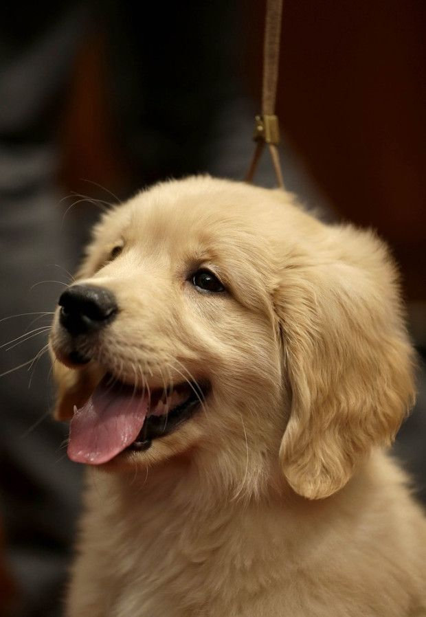 10 Easy Shortcuts To A Happier Life Retriever Puppy Dogs Golden