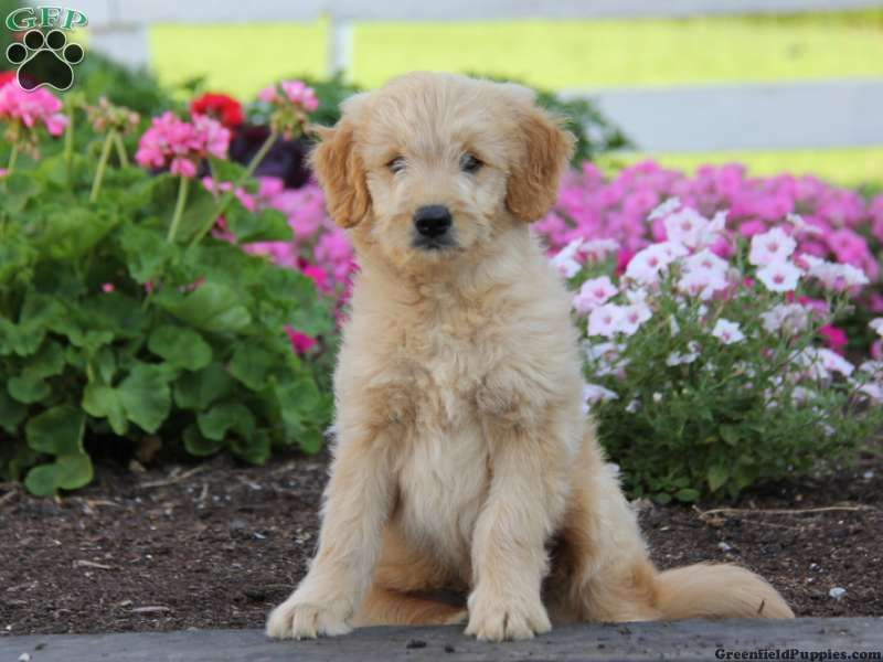 Cooper Mini Goldendoodle Puppy For Sale From Honey Brook Pa Mini Goldendoodle Puppies Goldendoodle Puppy For Sale Goldendoodle Puppy
