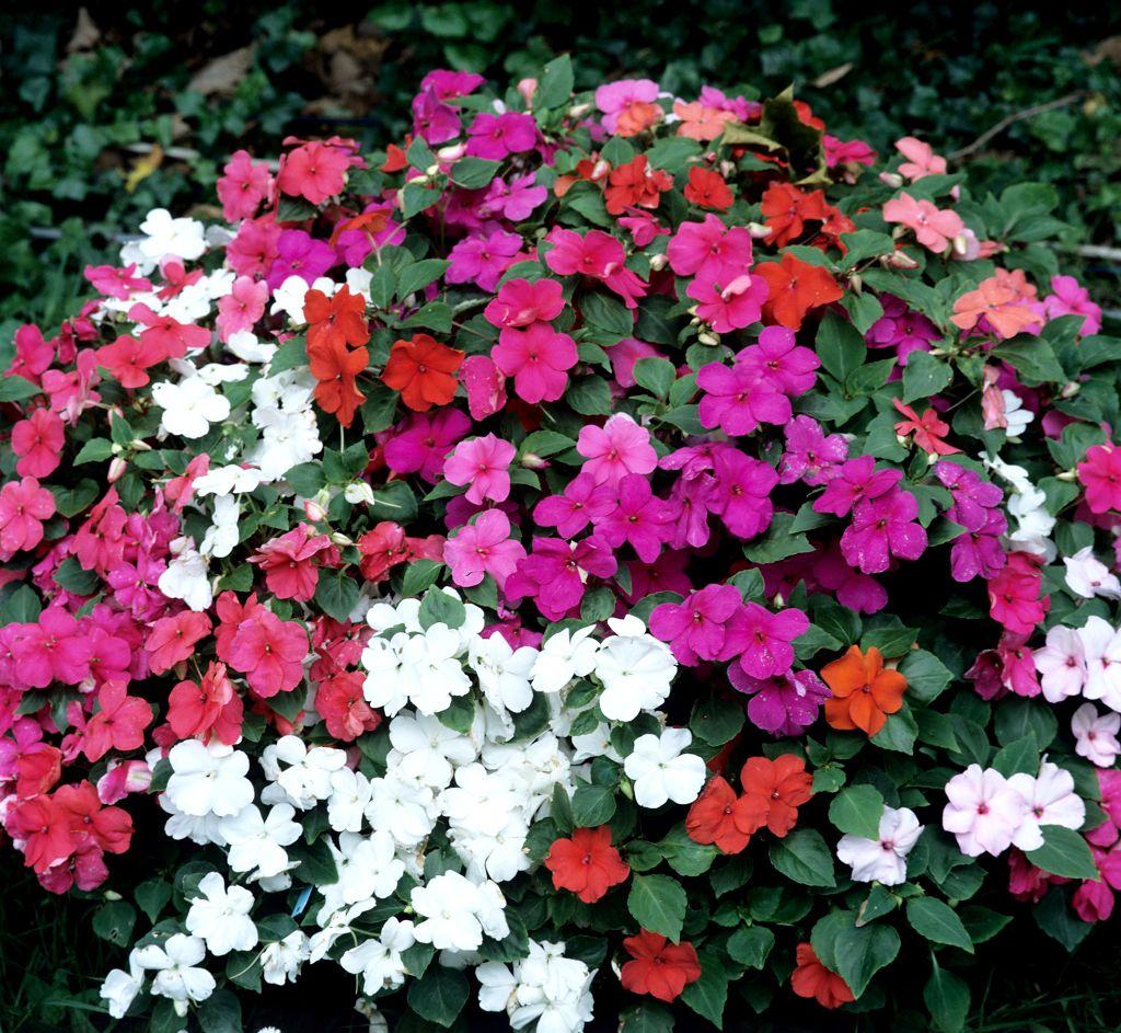 Impatiens : planter et entretenir - Ooreka | Plante hiver ...