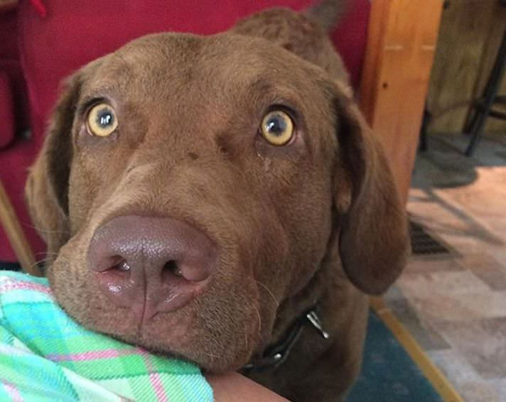 Eyeschessie Jpg 712 566 Pixels Chesapeake Bay Retriever