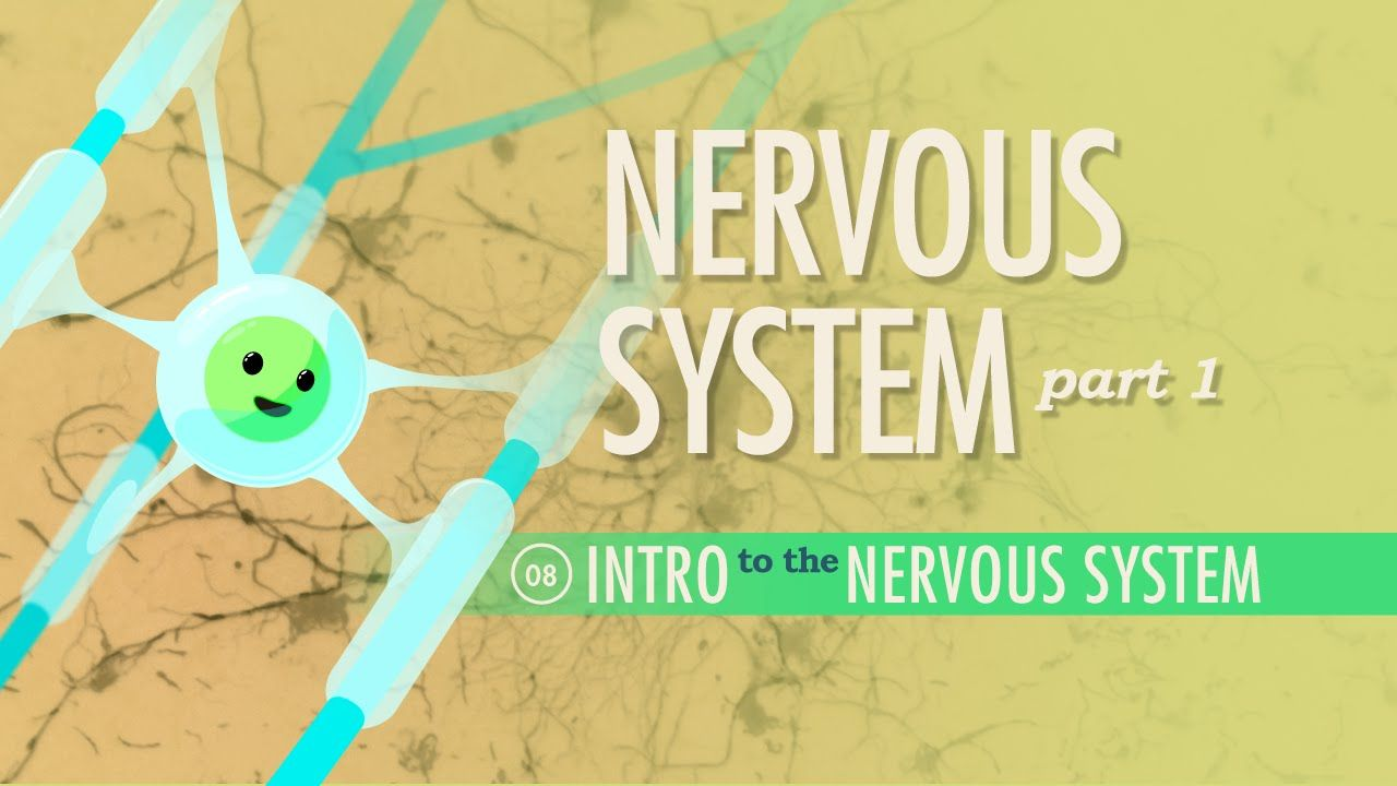 The Nervous System, Part 1: A&P #8   Nervous system, Anatomy and ...