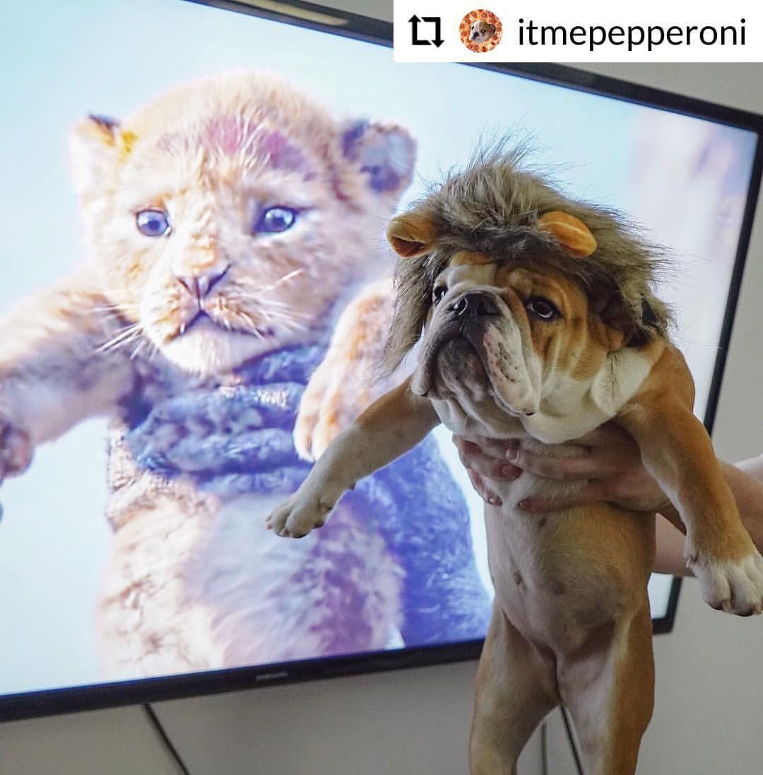 """Bulldog? Or lion? 🦁 itmepepperoni 🐾 Follow"