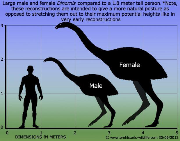 Moa size comparison to Human. | Prehistoric wildlife ...