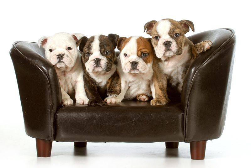 Litter of cute english bulldog puppies - Every high resolution image and vector for just 50 Cents - try us today with 7 Days Free Downloading @ kozzi.com !
