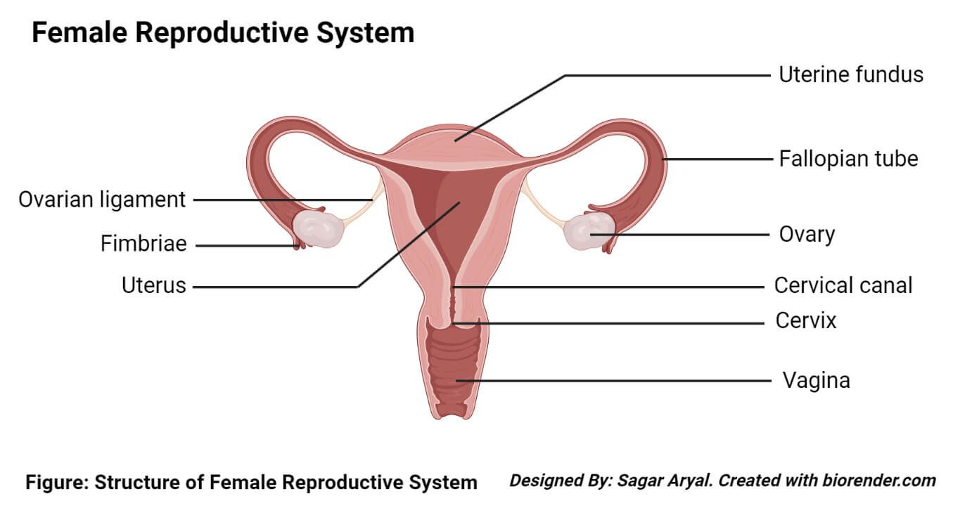 Image Of Female Reproductive System Diagram Koibana Info Reproductive System Female Reproductive System Fibroids Symptoms