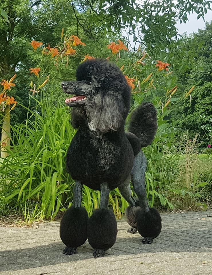 Pin By Renee Laf On Bogota Poodle Dog Standard Poodle Haircuts