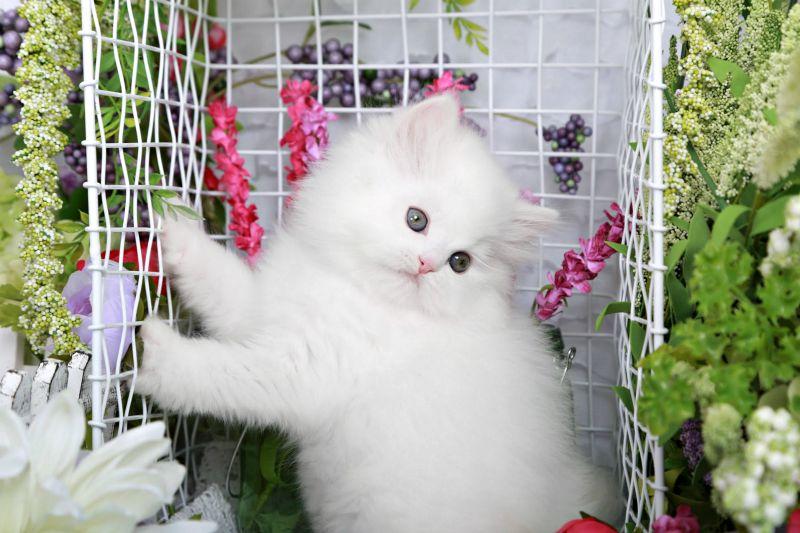Giovanni Persian Kitten Available Persian Kittens Beautiful