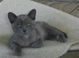 Beautiful Blue Bermese Cute Cats And Dogs Cats