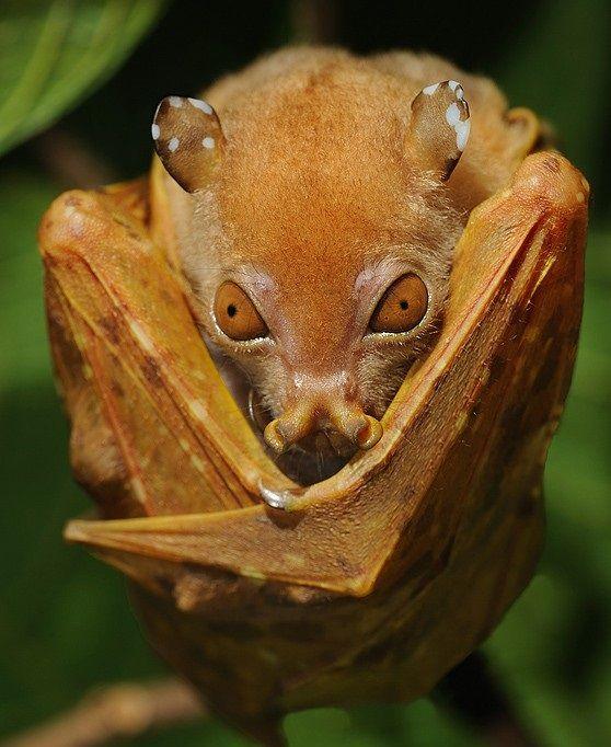 Weird Real Animals - Tube-nosed bat | Bat species, Cute