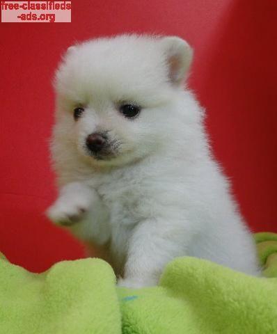 Free Classifieds Ads Org Cute Pomeranian Puppies For Sale Pomeranian Puppy For Sale Pomeranian Puppy Cute Pomeranian
