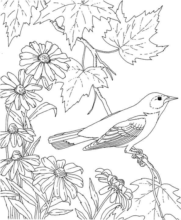 birds and flowers coloring pages | Maryland Baltimore Oriole Coloring Page | Purple Kitty ...