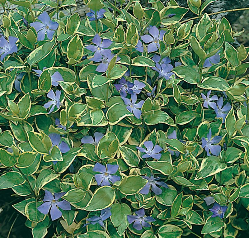 Picture of Live Periwinkle aka Vinca major 'Variegata' Plant Fit 1 Gallon Pot