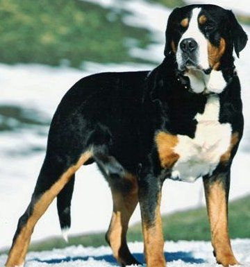 Greater Swiss Mountain Dog Google Images Entlebucher Mountain Dog Mountain Dog Breeds Mountain Dogs