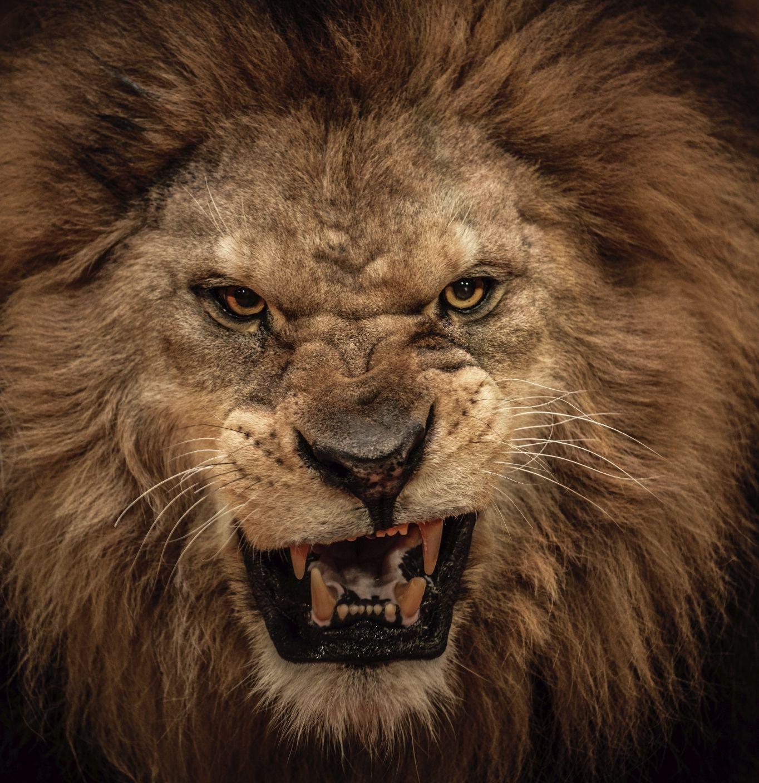 8k Animal Wallpaper Download: Roaring Lion, Lions And Animal