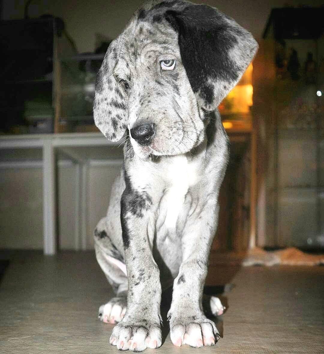 Pin By Kelley Viestenz On Danes Great Dane Dogs Dane Dog Dane