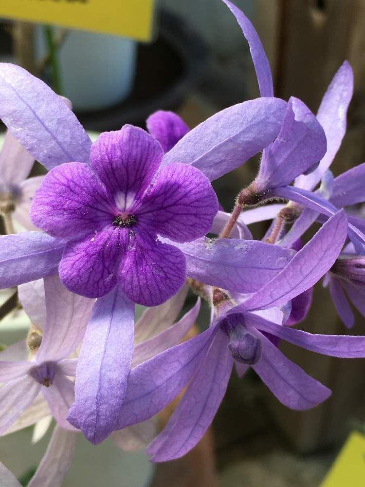 ばら喜知さんの投稿 ペトレア ウォルビリス ペトレア ヴォルビリス お出かけ先 花のある暮らし 花の写真 植物 図鑑 花