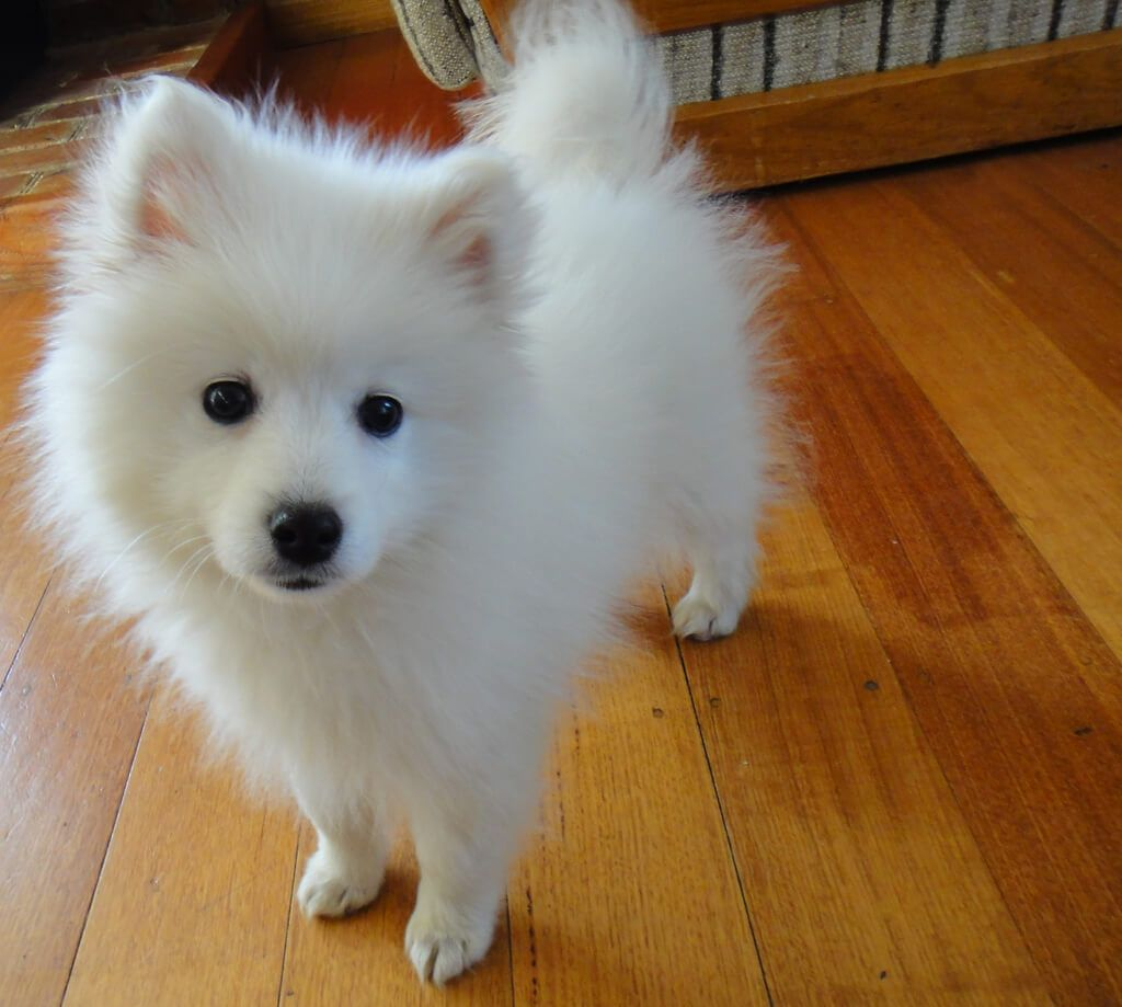 Japanese Spitz Spitz Dogs Japanese Spitz Dog Japanese Spitz Puppy