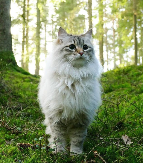 King Of The Woodshttps I Redd It 9kpv6owtrwh21 Png Cats Pretty Cats Beautiful Cats