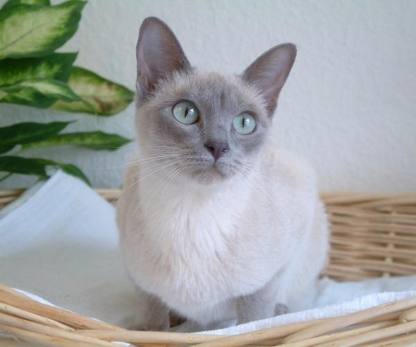 Gatto Tonkinese Siamese Cats Blue Point Tonkinese Cat Burmese Cat