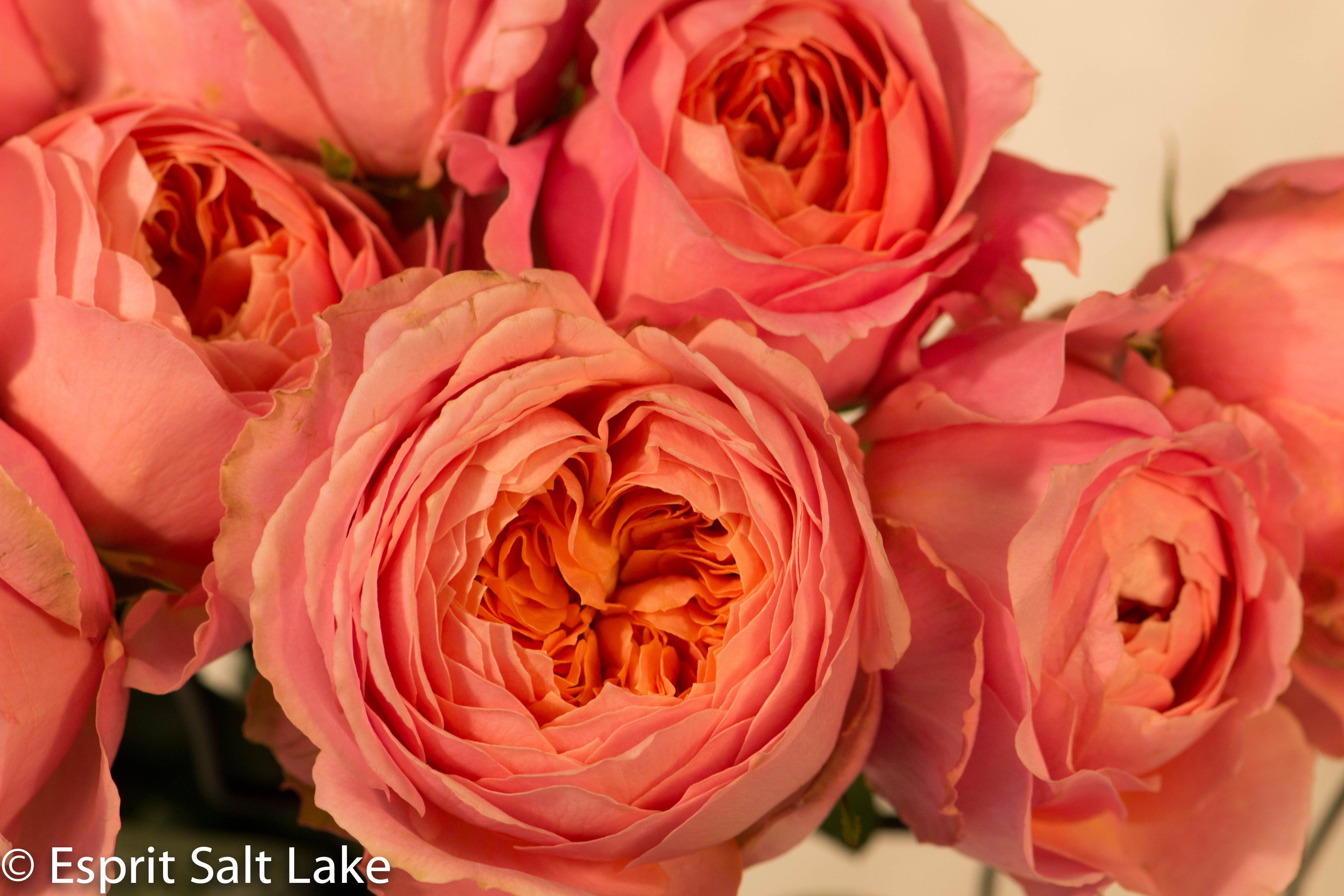 Coral Garden Rose romantic antike garden rose coral. great for those coral and