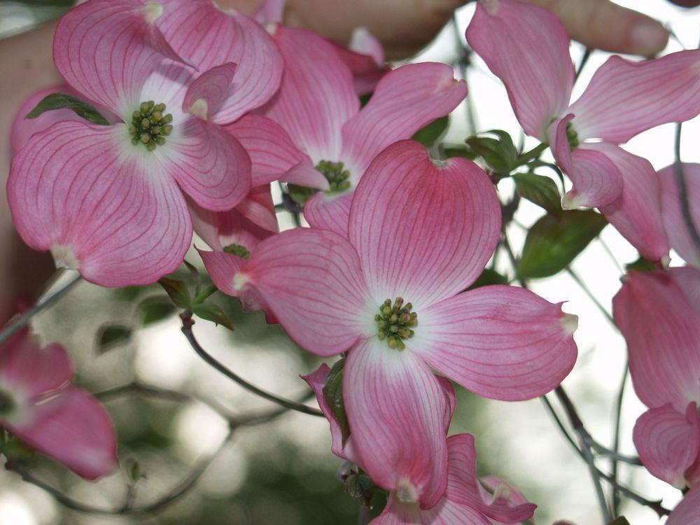 Details About Red Flowering Dogwood Cornus Florida Rubra Tree