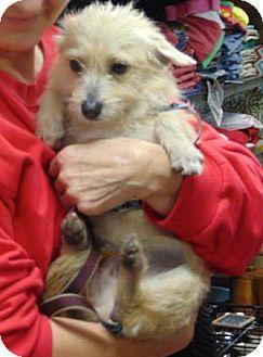 Memphis Tn Cairn Terrier Mix Meet Sandy Bolivar A Dog For Adoption Cairn Terrier Mix Terrier Mix Cairn Terrier