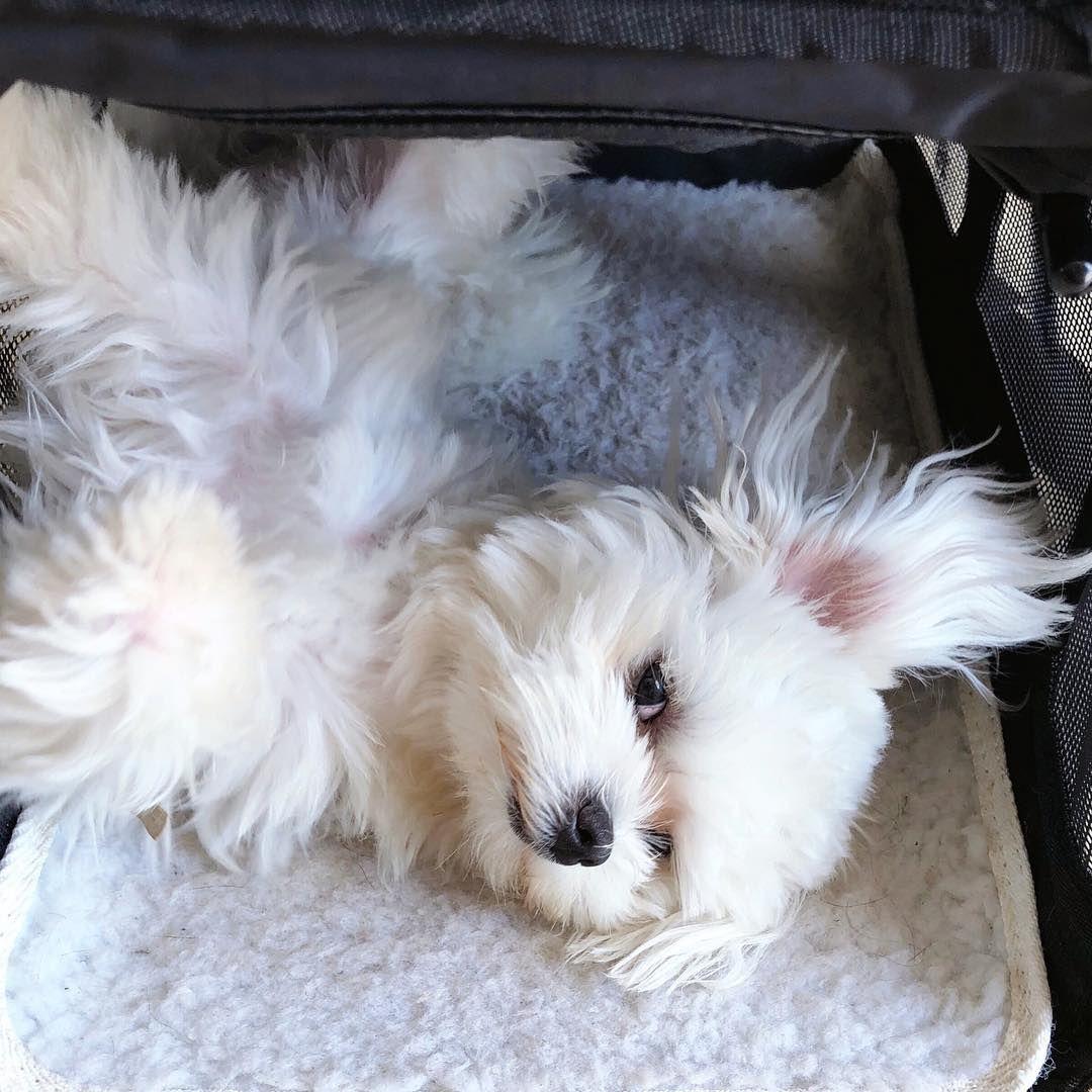 siësta siesta maltese puppy maltesepuppy maltezer